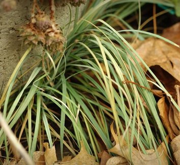 Carex flacca 'Blue Zinger' 7