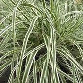 Carex 'Fiwhite' 20955