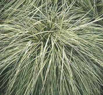 Carex oshimensis 'Evergold' 1