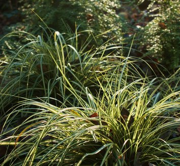 Carex oshimensis 'Evergold' 12