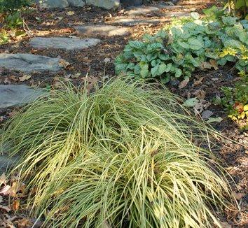 Carex oshimensis 'Evergold' 12 form