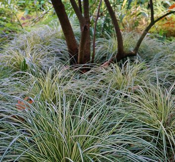 Carex oshimensis 'Evergold' 15