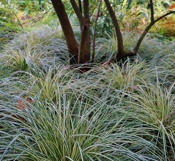 Carex oshimensis 'Evergold' 14