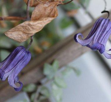 Clematis integrifolia 'Rooguchi' 10 flower