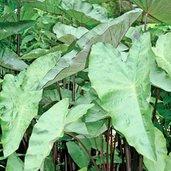 Colocasia 'Blackwater'