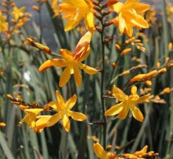 Crocosmia 'Solfaterre' 1 flower
