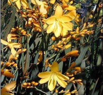 Crocosmia 'Solfaterre' 6 flower