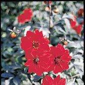 Dahlia 'Bednall Beauty'