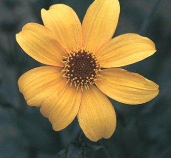 Dahlia 'Bishop of York' 1 flower