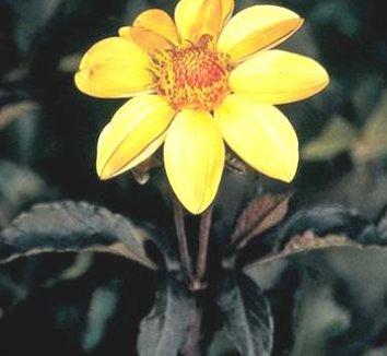 Dahlia 'HS Party' 1 flower