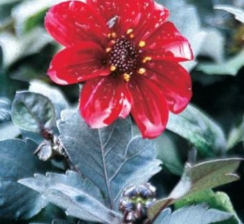 Dahlia 'HS Romeo' 1 flower