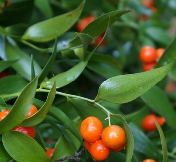 Danae racemosa 5