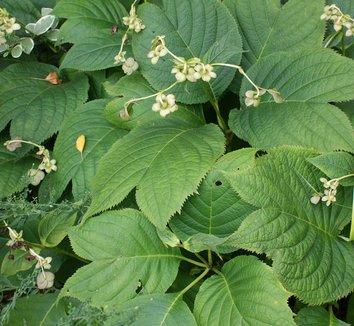 Deinanthe bifida 4 flower