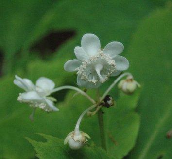 Deinanthe bifida 6 flower