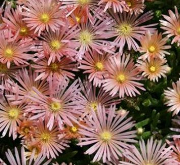 Delosperma 'Kelaidis' 2 flower