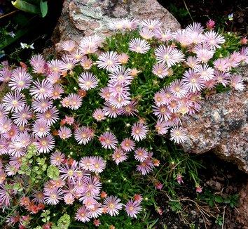 Delosperma 'Kelaidis' 1 flower