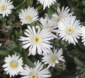 Delosperma 'Osberg' 1 flower