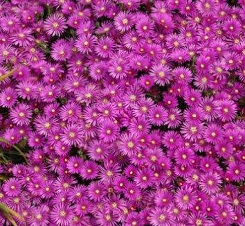Delosperma cooperi 1 flower