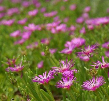Delosperma cooperi 3 flower