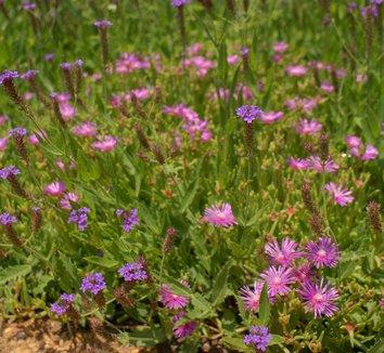 Delosperma cooperi 4 flower