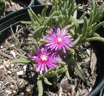 Delosperma cooperi 8 flower