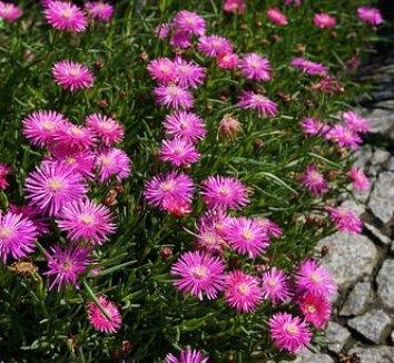 Delosperma cooperi 11 flower