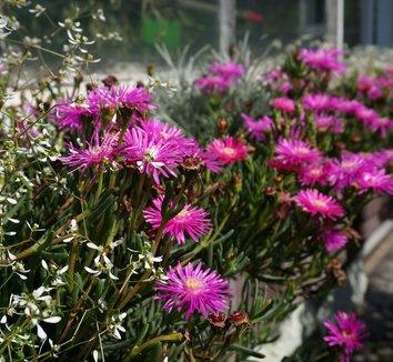 Delosperma cooperi 14 flower
