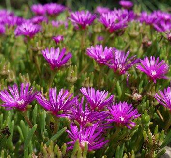 Delosperma cooperi 15 flower