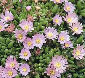 Delosperma 'Beaufort West' 1 flower