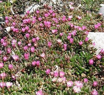 Delosperma 'Beaufort West' 4 flower, form