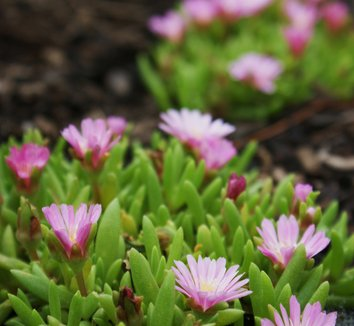 Delosperma 'Beaufort West' 5 flower
