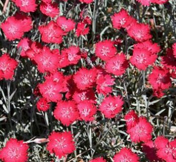 Dianthus 'Wicked Witch' 1 flower