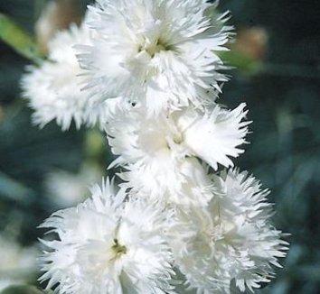 Dianthus plumarius 'Birmingham' 1 flower