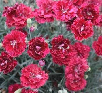 Dianthus 'Pomegranate Kiss' 1 flower