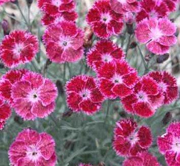 Dianthus 'Sangria Splash' PP21781 1 flower