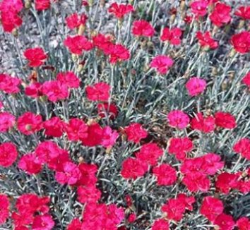 Dianthus 'Frosty Fire' 1 flower