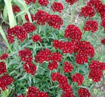 Dianthus barbatus 'Heart Attack' 1 flower