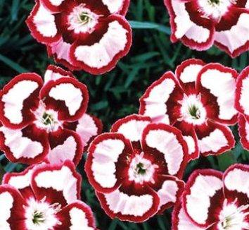 Dianthus 'Devon Siskin' 1 flower