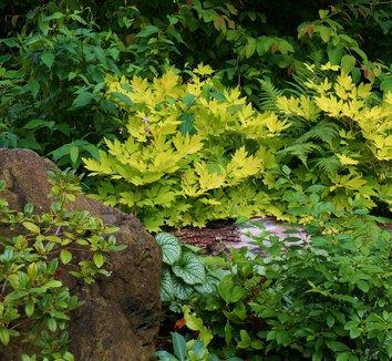 Lamprocapnos spectabilis 'Gold Heart' 13 landscape