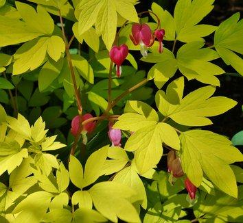 Lamprocapnos spectabilis 'Gold Heart' 14 flower
