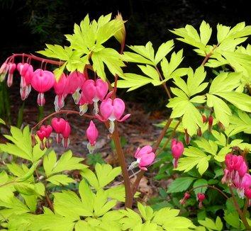 Lamprocapnos spectabilis 'Gold Heart' 20 flower