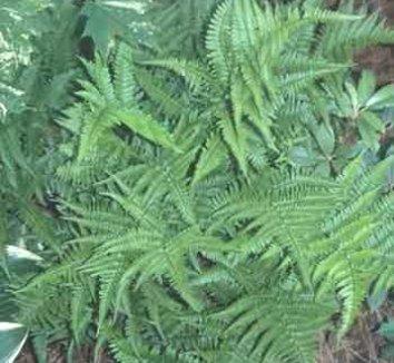 Dryopteris formosana 1