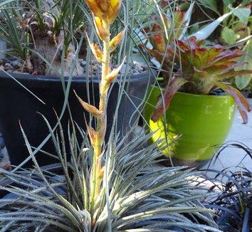 Dyckia choristaminea 'Frazzle Dazzle' 6 flower