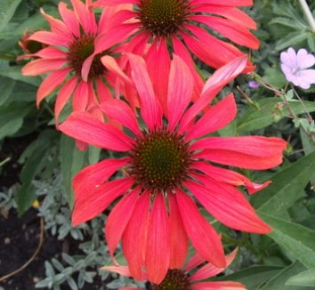 Echinacea 'Tomato Soup' PP19427 2 flower