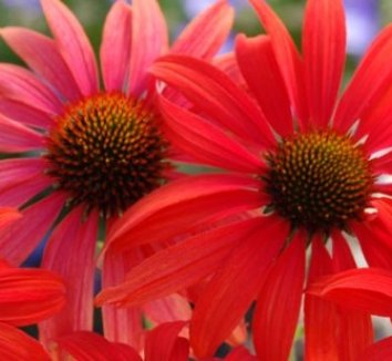 Echinacea 'Tomato Soup' PP19427 6 flower