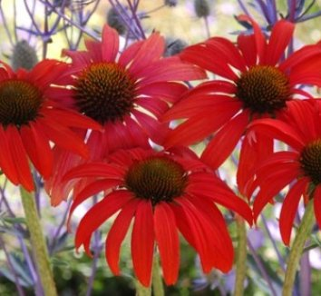 Echinacea 'Tomato Soup' PP19427 4 flower