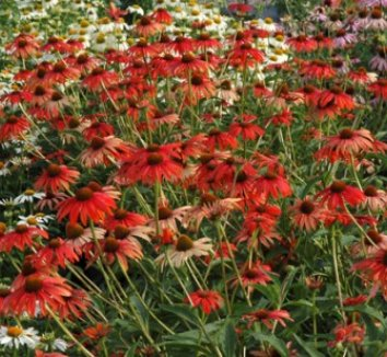 Echinacea 'Tomato Soup' PP19427 1 flower