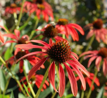 Echinacea 'Tomato Soup' PP19427 8 flower