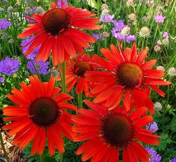Echinacea 'Tomato Soup' PP19427 10 flower