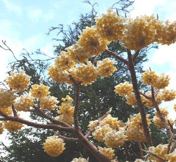 Edgeworthia chrysantha 'Snow Cream' 1 flower